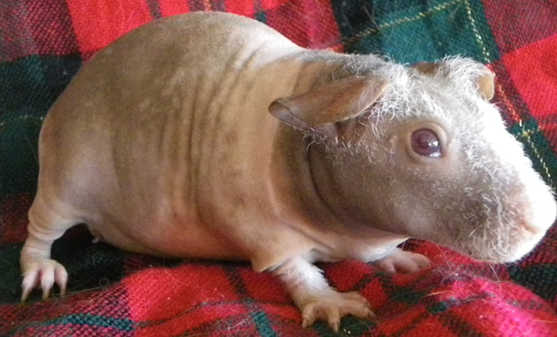 shaved guinea pig